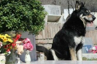 Câinele care a stat timp de 10 ani numai lângă mormântului stăpânului a murit