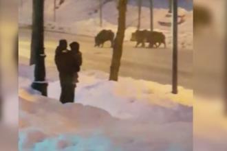 Mistreţi filmaţi în centrul oraşului Sinaia. Vânătorii au cerut aprobare să-i împuște. VIDEO