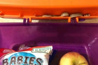 Șarpe extrem de veninos, găsit în cutia pentru mâncare a unui copil
