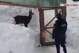 1.000 de lei a primit amendă o familie care creștea în curtea casei o capră neagră
