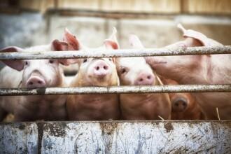 O femeie a fost mâncată de vie de porci, în Rusia. Soțul ei dormea în casă
