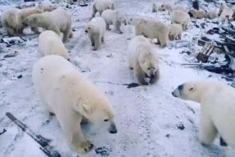 Rușii trimit armata să apere un oraş invadat de urşii polari înfometaţi