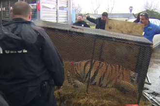 Tigru găsit de un tânăr într-o casă abandonată. Reacţia poliţiei: