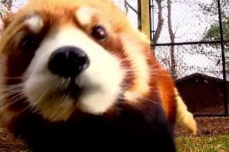 Doi panda roșii, vedetele unei grădini zoologice din SUA. Au topit inimile tuturor
