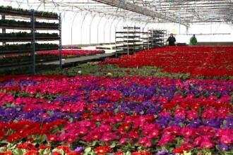 Săptămâna în care preţul florilor se triplează. Preţul unei crizanteme la tarabă