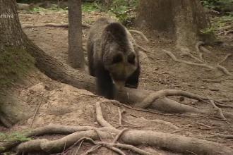 Agenţia de Protecţia Mediului Mureş a solicitat aprobarea împuşcării unui urs. Cum a fost filmat