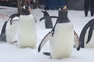 Peste jumătate din pinguinii de la un acvariu din Irlanda au format perechi gay