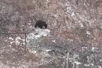 Tot mai mulți urși umblă nestingheriți pe străzile din Bușteni. Sfatul dat de jandarmi