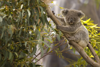 Anchetă în Australia, după ce zeci de koala au fost ucişi.