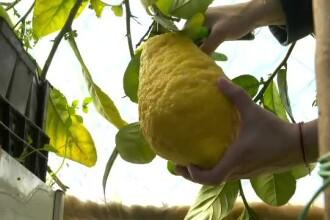 VIDEO: Un fermier din Croația a recoltat lămâi uriașe, de o jumătate de kilogram
