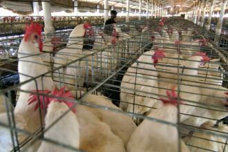 Cum riscă să moară milioane de păsări, din cauza epidemiei de coronavirus din China