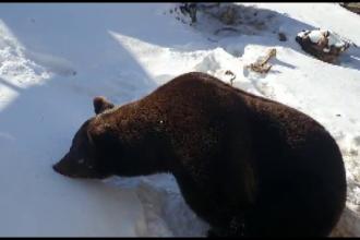Povestea ursului Baloo, mascota stațiunii Straja. Cum și-a sărbătorit ziua