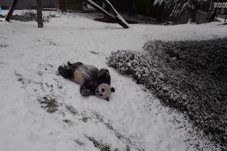 Spectacolul oferit de doi urși panda în zăpadă, surprins de camerele de supraveghere. VIDEO