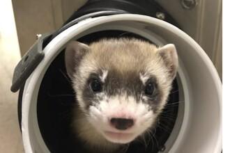 Oamenii de știință au clonat prima specie de animal pe cale de dispariție în SUA: un dihor