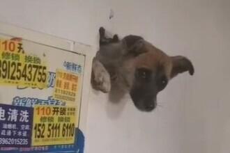 VIDEO. Un câine terorizat de petarde a rămas blocat în interiorul unui perete