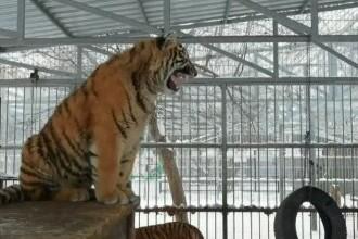 Spectacol oferit de un tigru de la o grădină zoo din Siberia, care a început să cânte