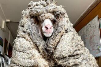 Transformarea virală a unei oi rătăcite care a fost tunsă după mai mulți ani. Lâna de pe ea cântărea 35 de kilograme