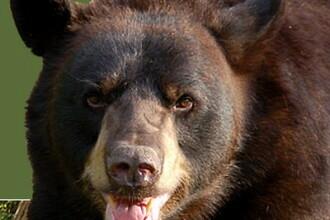 A pierit sfartecat de urs! Animalul a fost decapitat!