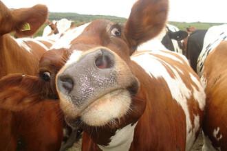 Lapte uman produs de vaci modificate genetic. Englezii sunt revoltati