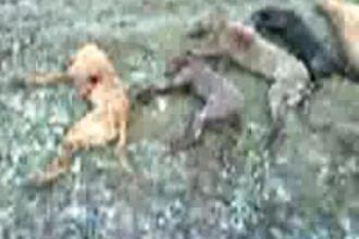 Macel in Olt: 17 caini au fost ciuruiti si insirati pe camp