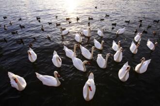 Invazie de lebede albe pe lacul Gilau din Cluj!