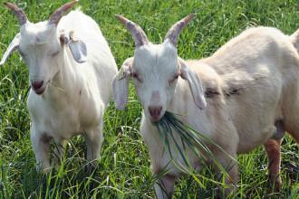Isi creste caprele dupa norme europene si primeste subventii de 6.000 €. Avantajele agriculturii eco