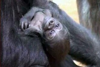Captura macabra in vestul Africii: capete de gorile si colti de elefanti