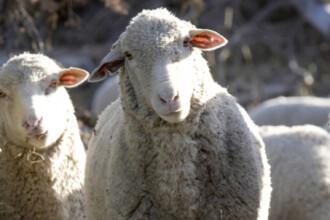 Ce-au vinul, caprele si oile in comun? Scot Romania din criza!