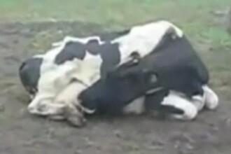 Cea mai lacoma vaca din lume: isi bea propriul lapte! VEZI VIDEO!