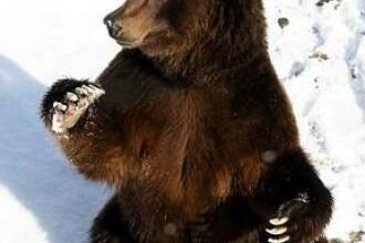 Prindeti ursul! Este ordinul primit de padurarii din sud-estul Poloniei