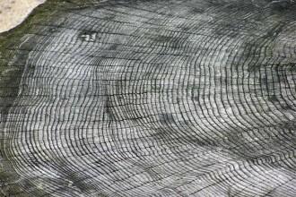 Copacii, martorii tacuti ai istoriei. Afla cum inregistreaza evenimentele