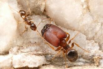FOTO. Ca in filmele de groaza: furnicile mutant. Oamenii de stiinta au creat insecte monstruoase
