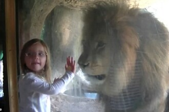 Intalnire de gradul zero intre o fetita de 3 ani si un leu. Reactia animalului a cucerit internetul