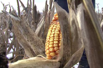 Fenomen ciudat pentru luna ianuarie. Fermierii din Alba recolteaza porumbul