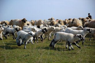 Miorita, varianta moderna. Un cioban a ajuns la un pas de moarte din cauza unei drujbe