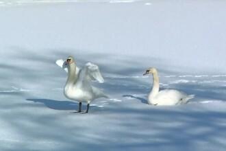 Cateva lebede asteapta sa fie salvate de pe lacul Bordei, din Capitala. Cine ar trebui sa se ocupe de siguranta pasarilor