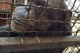 Singurul cimpanzeu de la Zoo Baneasa a murit la varsta de 43 de ani. Povestea incredibila a lui Felix