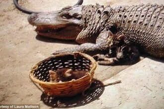 Cu ce este hranit aligatorul urias descoperit in casa unei femei din California.