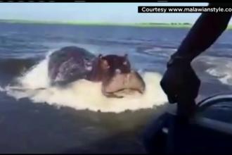 Turisti aflati in safari in Zambia, speriati de moarte de un hipopotam. Unde a aparut mamiferul urias