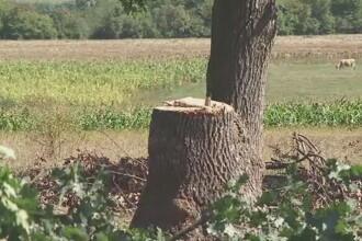 Barbat din Suceava, in coma dupa ce i-a cazut un copac in cap. Ar fi fost angajat sa taie lemne, fara contract de munca