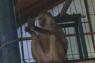 O maimuta de la ZOO Brasov a furat un smartphone de la un turist. Ce a urmat a facut deliciul tuturor. VIDEO