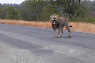 A fost gasit pe moarte, cu o capcana prinsa de gat. Cum arata acest leu dupa ce a fost salvat de niste turisti