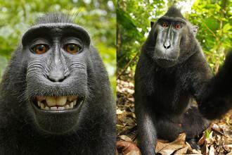 Cine are de fapt drepturi pe selfie-urile facute de o maimuta. Un tribunal din Statele Unite a luat o decizie istorica