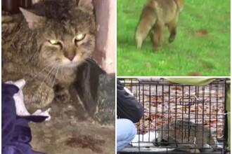 Pisica salbatica si vulpe, ajunse in oras, in cautare de hrana si partener. Felina, dusa in padure dupa o operatiune complexa