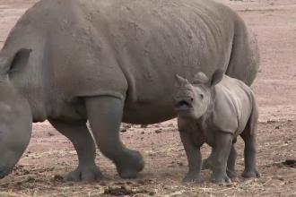 Un copil de 9 ani a strans bani pentru a salva un pui de rinocer, caruia ii murise mama. Suma adunata de baiat