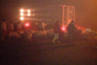 Camion cu porci, rasturnat pe un camp din Timis. Martorii si pompierii s-au mobilizat si au recuperat animalele