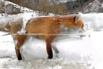 Vulpea prinsa intr-un bloc de gheata. Explicatia unei fotografii incredibile, realizata de un vanator in Germania