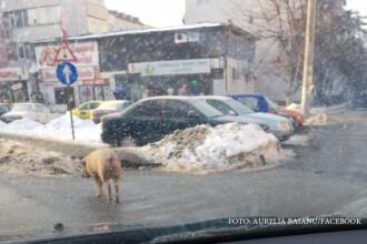 Aparitie insolita in cartierul Galata din Iasi. Un porc se plimba pe strada, printre blocuri