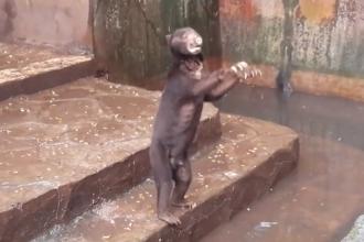 Ursi atat de slabi incat nu se mai stie ce specie sunt, la un ZOO din Indonezia.