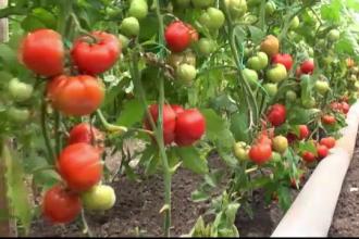 Producatorii de rosii promit legume proaspete si preturi corecte la vara. Cate mii de euro au primit de la stat